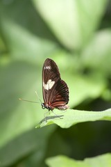 Cattlehearts butterfly - ventral view