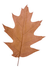 oak leaf as autumn symbol