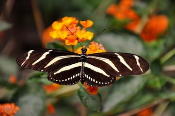 Zebra long wing butterfly eats at the garden restaurant.