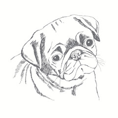 Pug dog face. Hand-drawn vector illustration. Sketch.