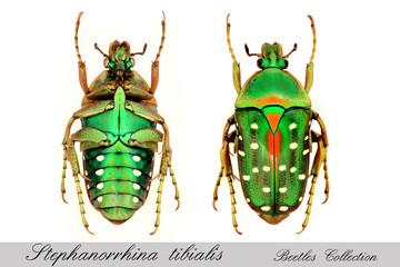 Stepanorrhina tibialis
