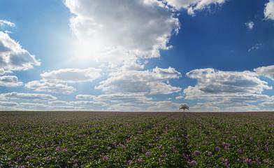 A field of potatoes under a blue sky