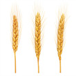 Wheat ears close up on white. Vector - 72581495