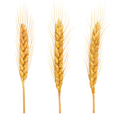 Wheat ears close up on white. Vector
