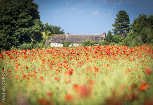 Foto op Canvas Poppy A field of red poppies and a Cotswold stone farm