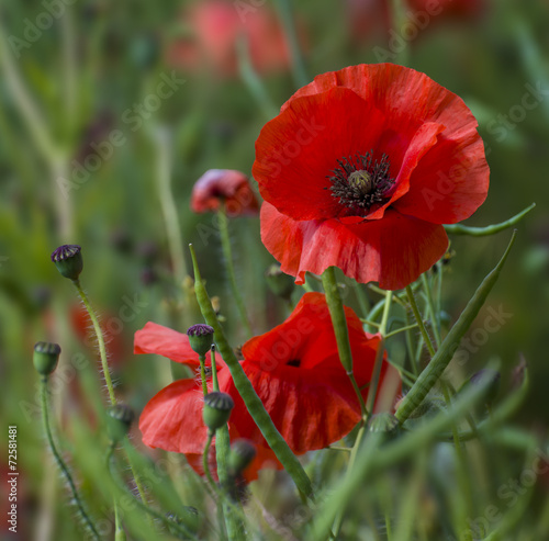 Foto op Canvas Poppy A field of bright, red poppies