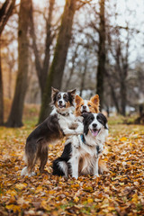 obedient dog breed border collie. Portrait, autumn, nature