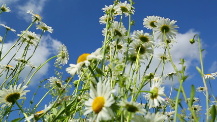 daisies on a meadow under blue sky - slider dolly shot