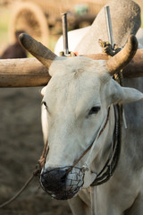 close up of face ox in myanmar
