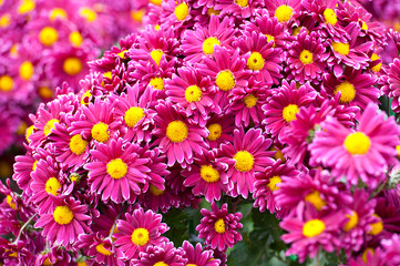 Chrysanthemum flower in the garden
