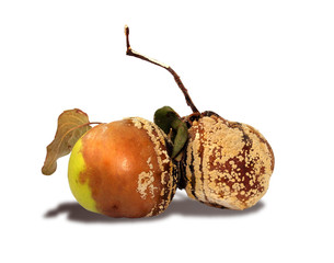 A rotten apple and pear isolated on a white background
