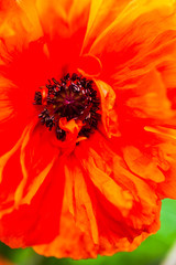 Closeup of the blooming red poppy flower