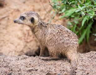 Meerkat with wet hair