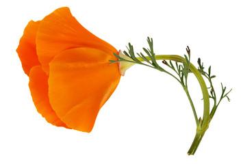 Flower Eschscholzia californica