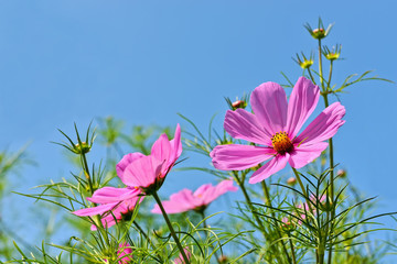 Pink cosmos flowers on blue sky closeup