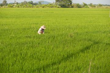Farmer harvesting