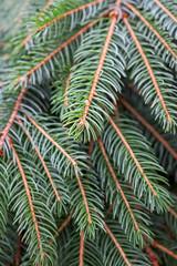 Christmas fir branches closeup photo