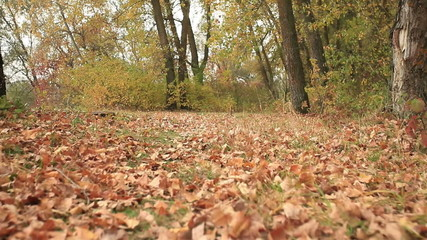 sunny autumn   wood   with river  . Steadicam animal view
