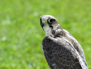 Peregrine Falcon with black eyes with the green background