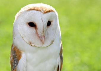 Barn Owl with big black eyes
