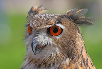 big owl with orange eyes