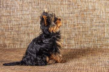 Young yorkshire terrier at home