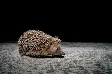 West European Hedgehog