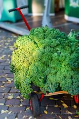 Oldenburg Kale