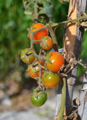 Cherry tomatoes on the plant, closeup