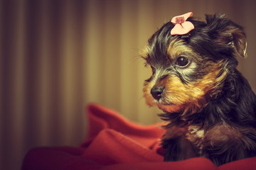 Yorkshire terrier puppy portrait with copy space