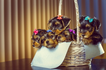 Little Yorkshire terrier puppies in a basket