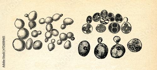 Leinwandbild Motiv Saccharomyces cerevisiae