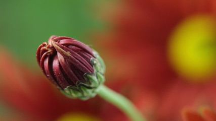 Flower Bud. Rack Focus