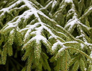 Winter fir tree branches with snow