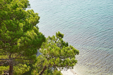 Trees pine on seashore