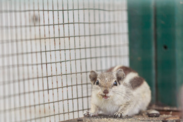 Laughing chipmunk in a cage