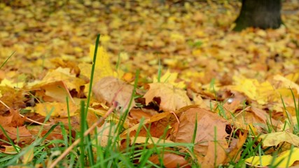 Autumn park - fallen leaves - closeup