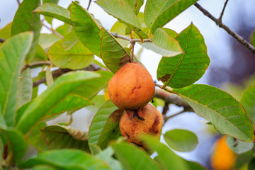Ripe orange fruits on quince tree