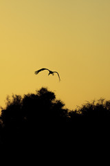Silhouette of one stork who flying on sunrise