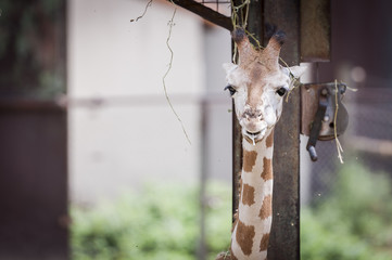 Portrait de girafon