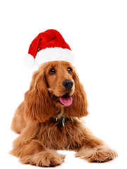 Cocker spaniel in Santa Claus hat isolated on white