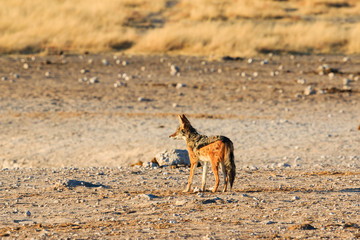 Black backed jackal observing salt pan