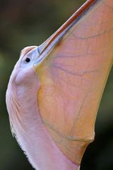 Prachtige bek van een pelikaan.