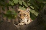 Lynx in de boom