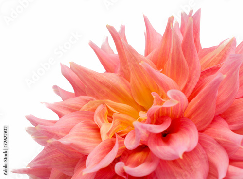 Aluminium Dahlia pink dahlia isolated