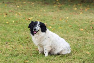 Short legged border collie or sheep dog