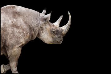 Rhinoceros on the Move