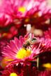 Obrazy na płótnie, fototapety, zdjęcia, fotoobrazy drukowane : bee on flower