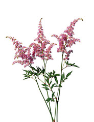 Bouquet of pink Astilbe
