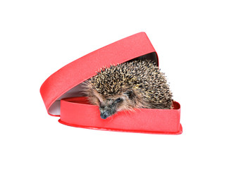 Small forest hedgehog in a red gift box in heart shape